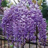 Beautiful Blue Moon Wisteria, Vine Plant, Attracts Hummingbirds, Potted Plant Fragrant Flowers, in Dormancy (1 - 2 Feet)