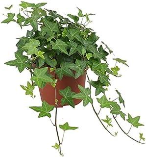 Hiedra de Interior Planta Natural Hedera Helix 20cm Planta de Interior