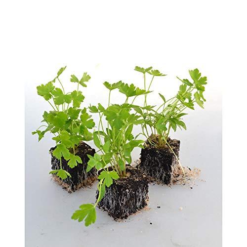 Kräuterpflanzen - Petersilie / glatt - Petroselinum crispum - 6 Pflanzen