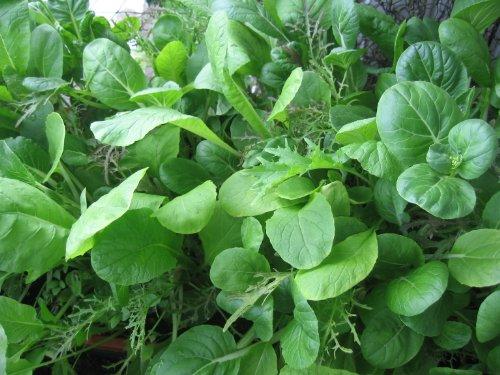 Asiatische Kräutermischung 200 Samen