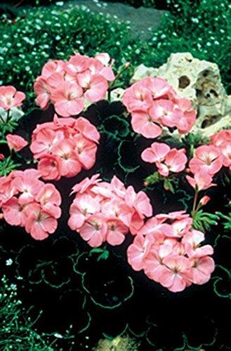 Geranium Zonal Black Velvet Series Rosen-Samen