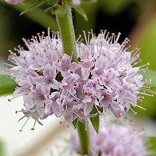 (ビオトープ)水辺植物 ニホンハッカ 原種(1ポット) 湿性植物 (休眠株)