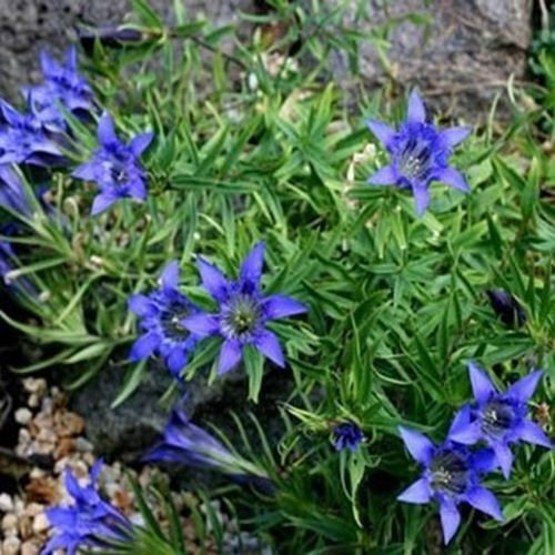 100 graines - bleu gentiane Herald Herb Seeds