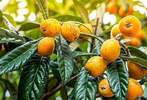 Mispelbaum - Eriobotrya Japonica - perfekt für Marmelade - 150+cm Stamm 80-90cm im 12Ltr. Topf