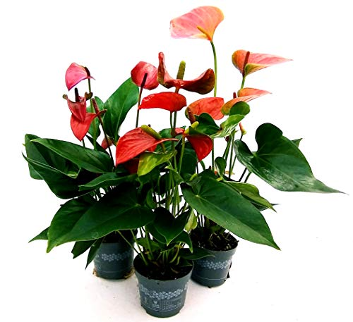 TRIS MINI ANTHURIUM DA TAVOLO, ROSSO-ROSA-VIOLA, vaso 10cm, piante vere