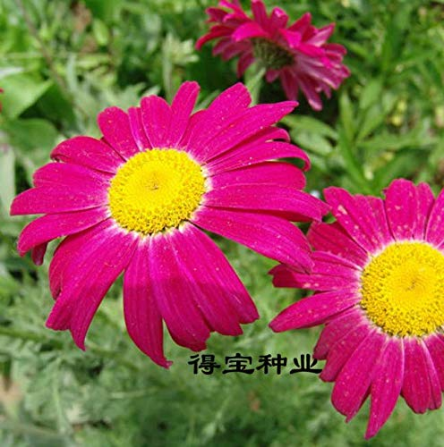 ScoutSeed Blühende Pflanzen Jährliche Bonsai Pyrethrum Insektenschutzmittel Gras 10 Stück Samen NEU