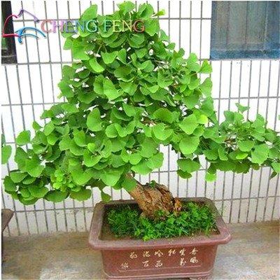 Graines Hot Sale 5 Graines Ginkgo Biloba PCS belles plantes à feuillage vivace Fleurs Graines bonsaï plantes regarder Golden Garden