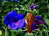 Rare 30 Pcs Blue Trumpet Vine Seeds Scarlet Campsis Radicans Perennial