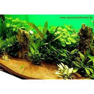 Mühlan 8 Wasserpflanzen im Topf