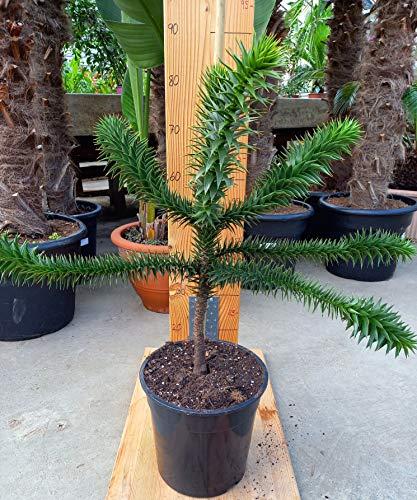 Araucaria Araucana - Schmucktanne - chilenische Andentanne - Araukarie - 80-105 cm