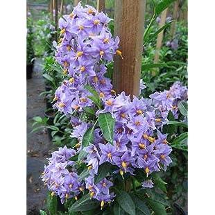 Solanum crispum Glasnevin - Potato Tree, Chilean Potato Bush:Lidl-pl