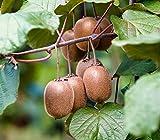 30 semillas / paquete, Tailandia mini-plantas de kiwi en maceta bonsai balcón de semillas orgánicas nutritiva deliciosa fruta de kiwi pequeña