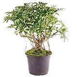 "Brussel's Bonsai Live Hawaiian Umbrella Indoor Bonsai Tree - 5 Years Old 8"" to 12"" Tall with Plastic Grower Pot, Medium,"