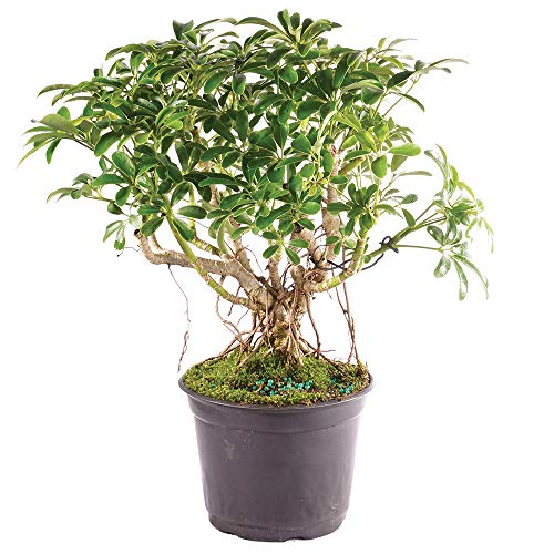 Brussel S Bonsai Live Hawaiian Umbrella Indoor Bonsai Tree 5 Years Old 8 To 12 Tall With Plastic Grower Pot Medium Buy Online In India At Desertcart In Productid 80409449