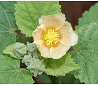 country mallow plant