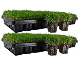 Zoysia Plugs - 50 Large Grass Plugs - Drought Tolerant, Low Maintenance EZPLug
