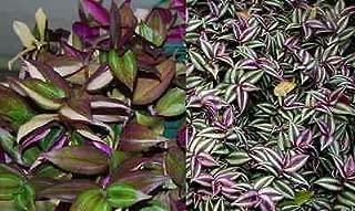 2 Types Variety Lot Tradescantia Tri Color Fluminensis & Zebrina Wandering Jew
