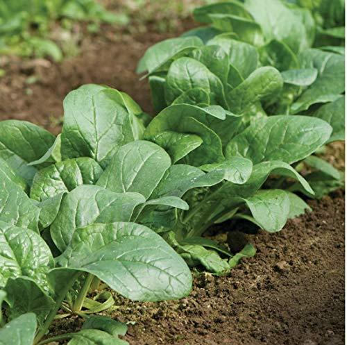 David's Garden Seeds Spinach Carmel 6653 (Green) 500 Non-GMO, Hybrid Seeds