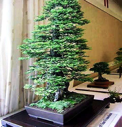 "Semillas y sempervirens Granjas secoya gigante ""California Redwood"" 55 semillas - BONSAI -"