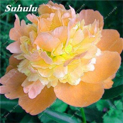 10 Pcs Pivoine graines, semences Potted extérieur, Bonsai Flower Seed, Variété complète, facile à cultiver, d'ornement-plantes pour jardin 23