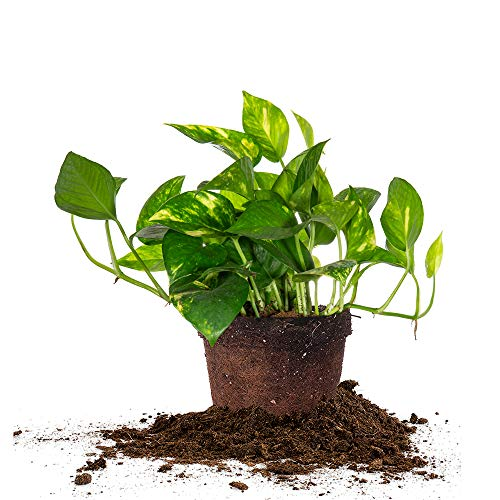 Perfect Plants Golden Pothos | Epipremnum aureum Devil's Ivy | Easy Care Houseplant | Perfect for Low to Moderate Light Conditions, 6 in Grower's Pot, | Air Purifying