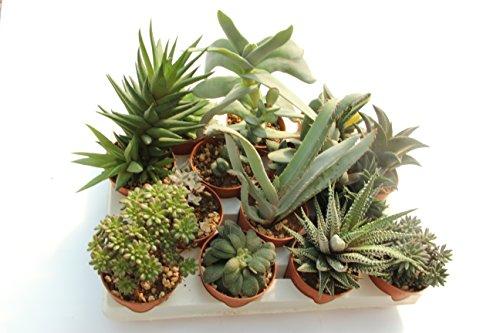 PIANTE GRASSE VERE RARE 11 piante 6,5 Produzione Viggiano Cactus VASO COLTIVAZIONE SET SENZA SPINE Mini Succulente