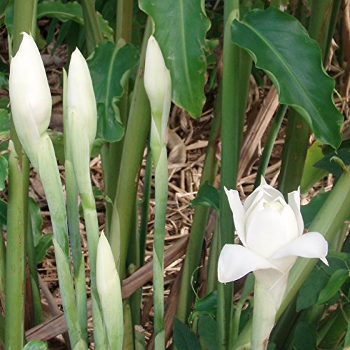 Rare Exotic White Torch Ginger, White Ginger Lily, Torch Lily,(ETLINGERA ELATIOR) A Great Landscaping Plant. =ONE Live GORWABLE Bulb AS Shown in The Image Will BE Shipped.