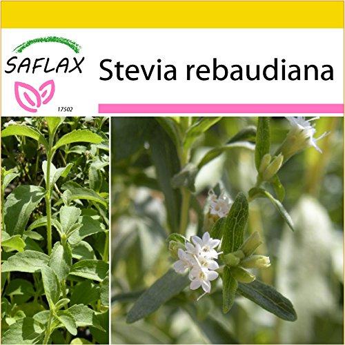 SAFLAX - Anzucht Set - Kräuter - Stevia Süßkraut - 100 Samen - Mit Mini-Gewächshaus, Anzuchtsubstrat und 2 Töpfen - Stevia rebaudiana