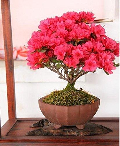 30 semillas / pack Bonsai planta en maceta crespón rojo semillas del árbol de mirto semilla de flor