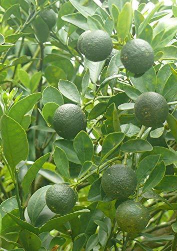 Potseed Keimfutter: Calamansi/Calamondin Seeds 30 Stück (Citrfortunella microcarpa)