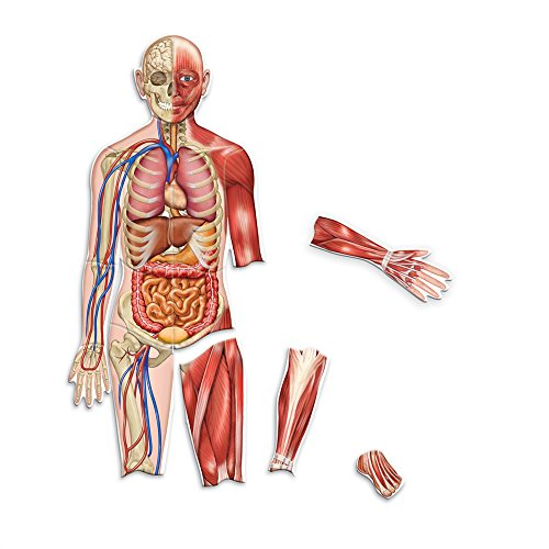 Learning Resources Double-Sided Magnetic Human Body review