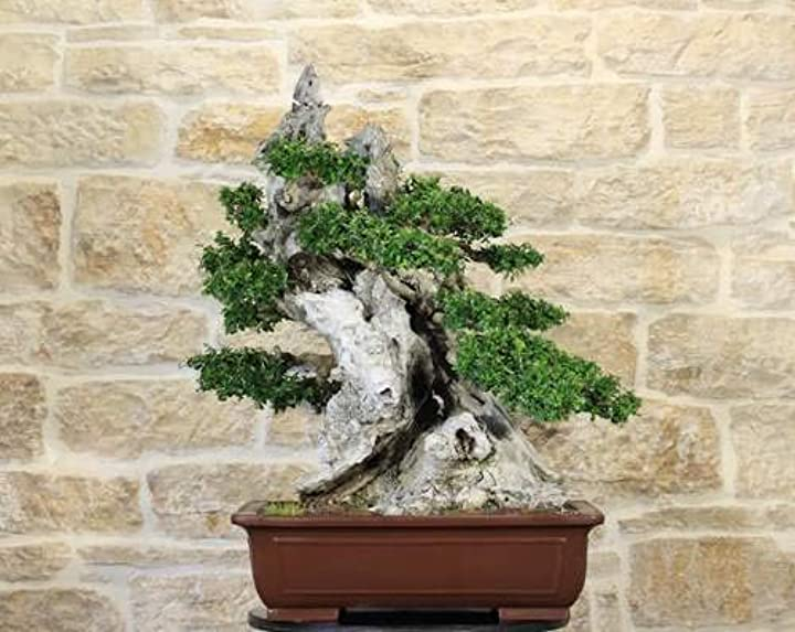 bonsai di olivastro (162)  pollice verde bm-oo162
