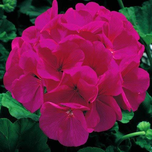 Bonsai Coleus seeds foliage plants perfect color Arc-Dragon Seeds beautiful flower plant garden Semente 30 seeds k42 8