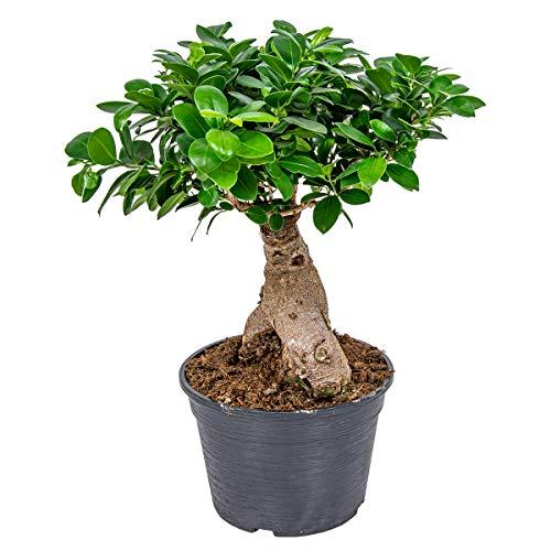 Bonsai Baum | Ficus \'Ginseng\' pro Stück - Zimmerpflanze im Aufzuchttopf cm20 cm - 40 cm
