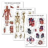 3 Pack - Muscle + Skeleton + Heart Anatomy Poster Set - Muscular and Skeletal System Anatomical Charts - Laminated - 18' x 27'