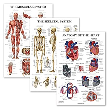 3 Pack - Muscle + Skeleton + Heart Anatomy Poster Set - Muscular and Skeletal System Anatomical Charts - Laminated - 18  x 27