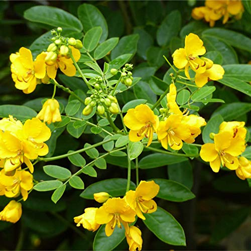 Cassia spectabilis Arbre Graines Tropical plante facile à croissance rapide fleurs jaunes