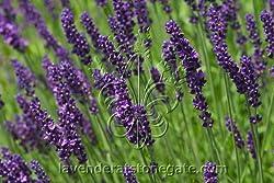 Buy Hidcote Plants
