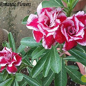 Nouveaux rares Bleu et Rouge Desert Rose (Adenium) 2 semences, 100% réel Variété Graines de fleurs, 1
