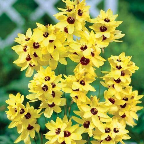 FERRY Hohe Wachstum Seeds Nicht NUR Pflanzen: Seed Ixia importiertes Saatgut, 100% GERMINETION (Pack of 5) Seed (5 pro Paket)