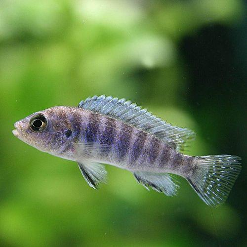 (熱帯魚)ゴールデンゼブラシクリッド(約2-3cm)<4匹>[生体]