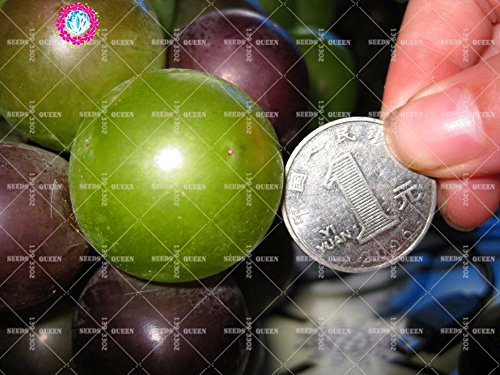 11.11 grande promotion! 50 pcs/lot de pépins de raisin géante graines d'arbres fruitiers jus vert jardin et la maison aweet plante vivace d'herbes biologiques