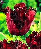 SANHOC 2pcs Fleur de Tulipe Rare bulbes de Tulipes bulbes bonsaïs 100% T Tulipe Plantes à bulbe de Fleur Plante d'intérieur en Pot pour la Plantation de Jardin à Domicile: 6
