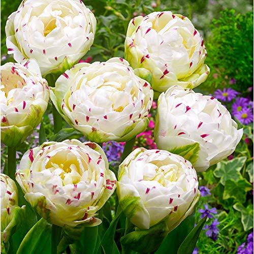 Tulpe 'Danceline Ø 11/12-7 Stück Blumenzwiebeln, Direkt von holländischem Boden