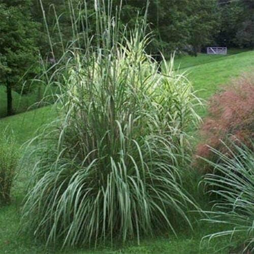 Memphis Mall Ranking TOP19 Plume Grass Erianthus ravennae jocad 50 Seeds