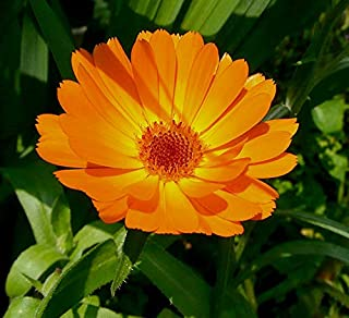 Ringelblume - Calendula officinalis - 300 Samen