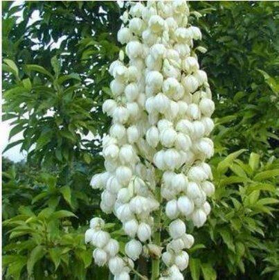 50 PC / bolso, semillas de yuca, de semillas en macetas, semillas de flores, la variedad completa, la tasa de florecimiento del 95{277f13970c2afb771cea06c3f3acf0ff32d8dcd4954c428ec40c9e80df97f972}, (los colores mezclados)