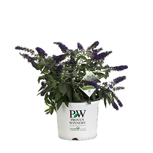 Pugster Blue Butterfly Bush (Buddleia) Live Shrub, Blue Flowers, 3 Gallon