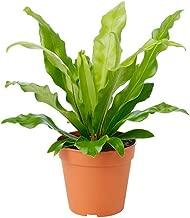 wavy fern plant
