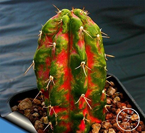 Hot Sale! Semillas De Flores 10 PCS / Graines Sac Succulentes Raw Pierre Cactus Tiges Tetragonia Potted Flowers Charnu, # 06KK0H